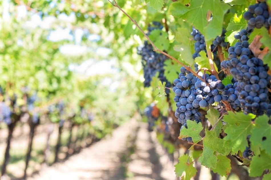 purple-grapes-vineyard-napa-valley-napa-vineyard.jpeg