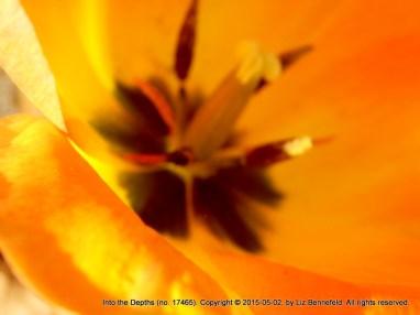 Tulip, North Sidegarden