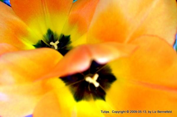 Tulips in my Garden