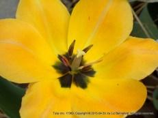 Tulip (no. 17369)