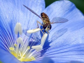 A hoverfly at the center of a blue wild flax flower