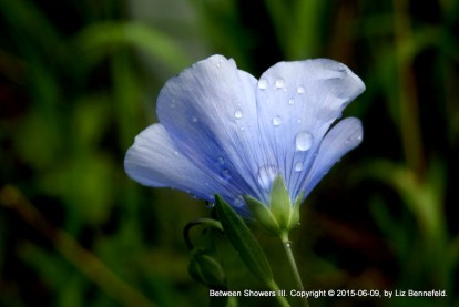 Wild flax flower, partly opened, with rain drops on its petals