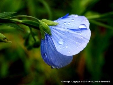 Blue wild flax flower with clinging raindrops