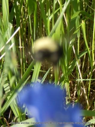 Honey Bee, having fallen off the flower