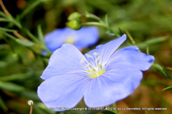 blue wild flax flower, macro, natural color
