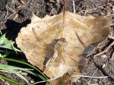 Dragonfly, no. 23173