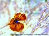 Blue Wild Flax, no. 23178