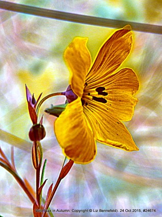 Wild Flax Art no. 24674
