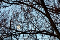 halfmoon partly shrouded by the branches of the willow tree in the next yard