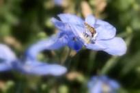 Blue Wild Flax #8146