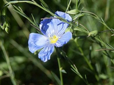 Blue Wild Flax #8147