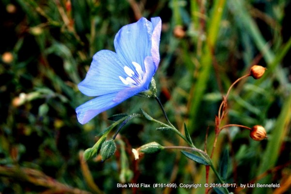 side view of open blue wild flax flower