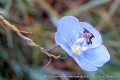 two hoverflies on a blue wild flax flower - close-up