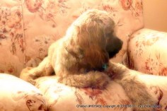 sable cocker spaniel on upholstered love seat