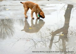 puppy, drinking from rain puddle on concrete slab, tree branches reflected