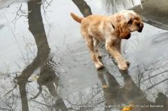 puppy walking through water reflecting tree trunks