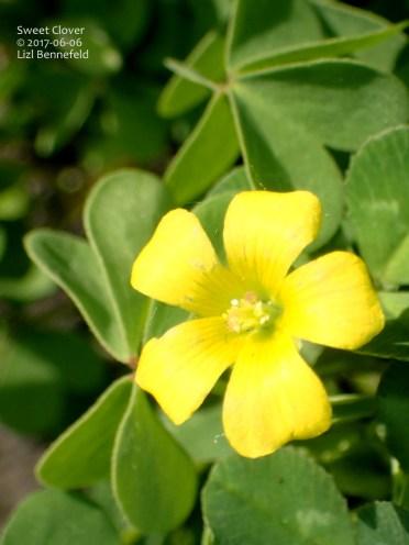 sweet clover flower