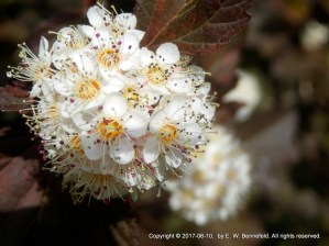 flowers of ninebark shrub