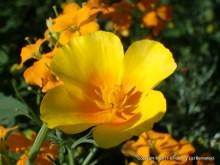 California Poppy, Lizl Bennefeld