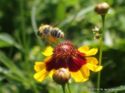 honeybee flying away from open coreopsis wildflower