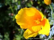 Yellow california poppy, partly open