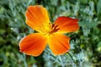 California Poppy, red to yellow