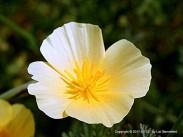 California Poppy, white with yellow center