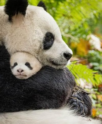 Celebrate National Panda Day with Born in China's New Panda Clip & Fun Facts!