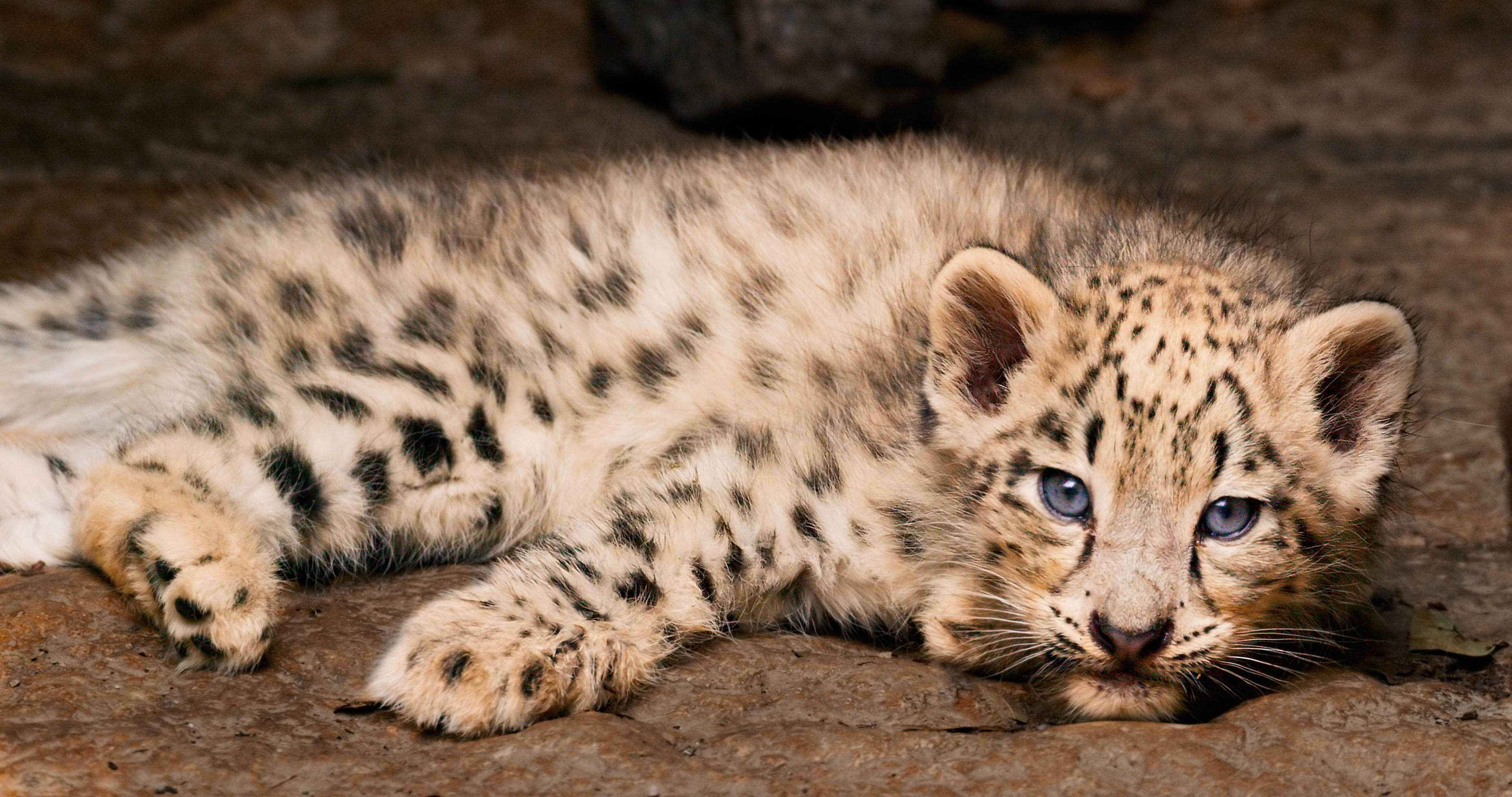 Character: Dawa's cub - Snow Leopard