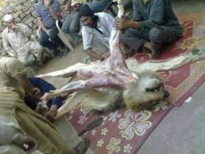 LionSkinnedInPakistan