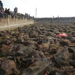 gadhimai-slaughtered-buffalo