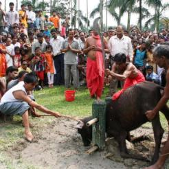 Indian Hindu devotees watch as a buffalo