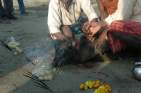 Piglet sacrifice at Gadhimai4