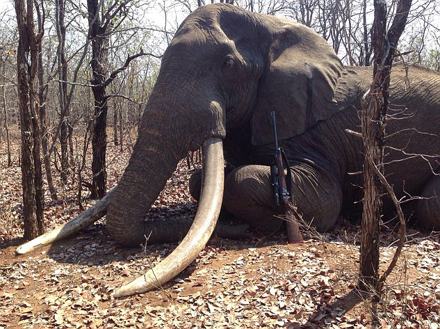 2D739AC500000578-0-The_elephant_had_tusks_which_weighed_122_pounds_and_is_thought_t-m-3_1445357823911