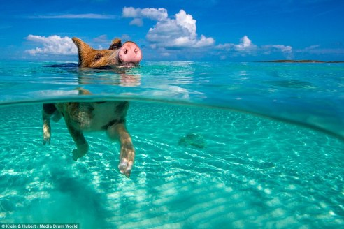 25751B9200000578-2944893-Hoggy_paddle_Swimming_pigs_on_an_uninhabited_island_in_the_Baham-a-8_1423432748190