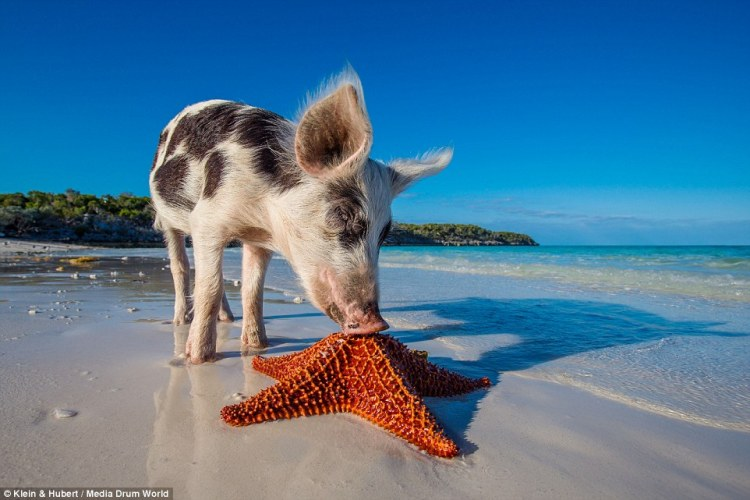 25751D2300000578-2944893-Star_attraction_Tourists_visit_the_paradise_nicknamed_Pig_Island-a-17_1423432810306