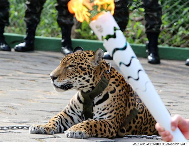 0621-jaguar-at-olympics-jair-araujodiario-do-amazonasafp-3
