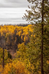 Fall In Wyoming, Saratoga, Pine Tree and Aspens