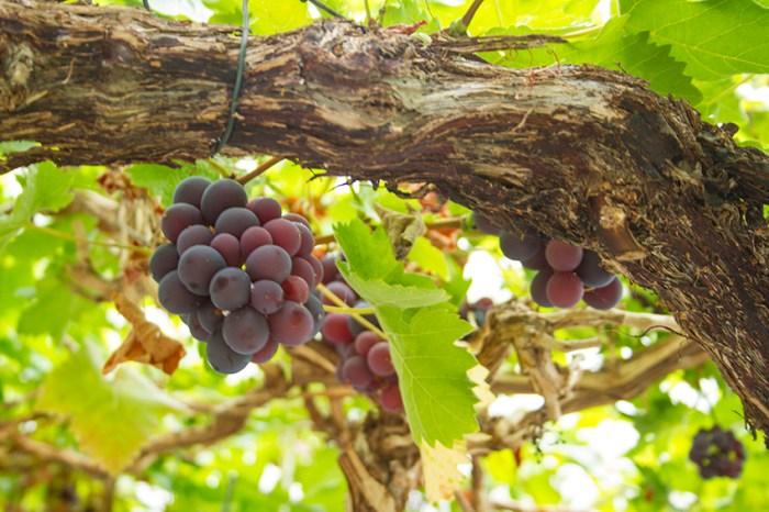 Grapes8