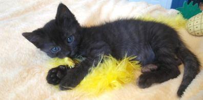 black kitten adoption DC