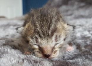 small kitten adoption DC sleeping
