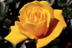 yellow-rose-in-sepia-flat1