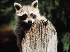 Raccoon-control-sollutions