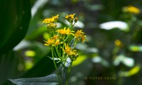Single-stemmed groundsel
