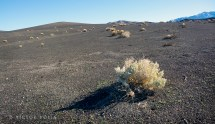 Sparse brush growing from the old lava field near Ubehebe