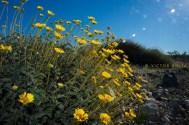 Brittlebush (Encelia farinosa) south of Titus Canyon road