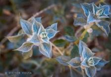 Desert sage (Salvia funerea) in Titus Canyon