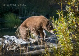 Bear! Taylor Creek