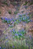 A hillside of lupine