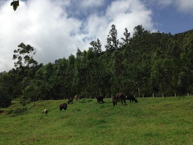 Cow Trail 04